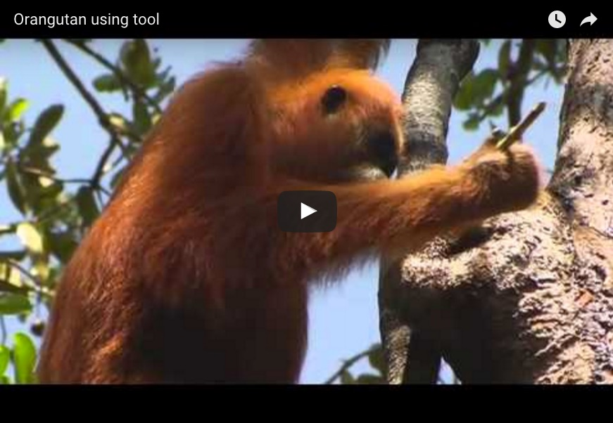 a youtube video of an orangatan using a tool to find food