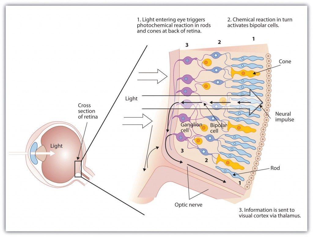 diagram of retina