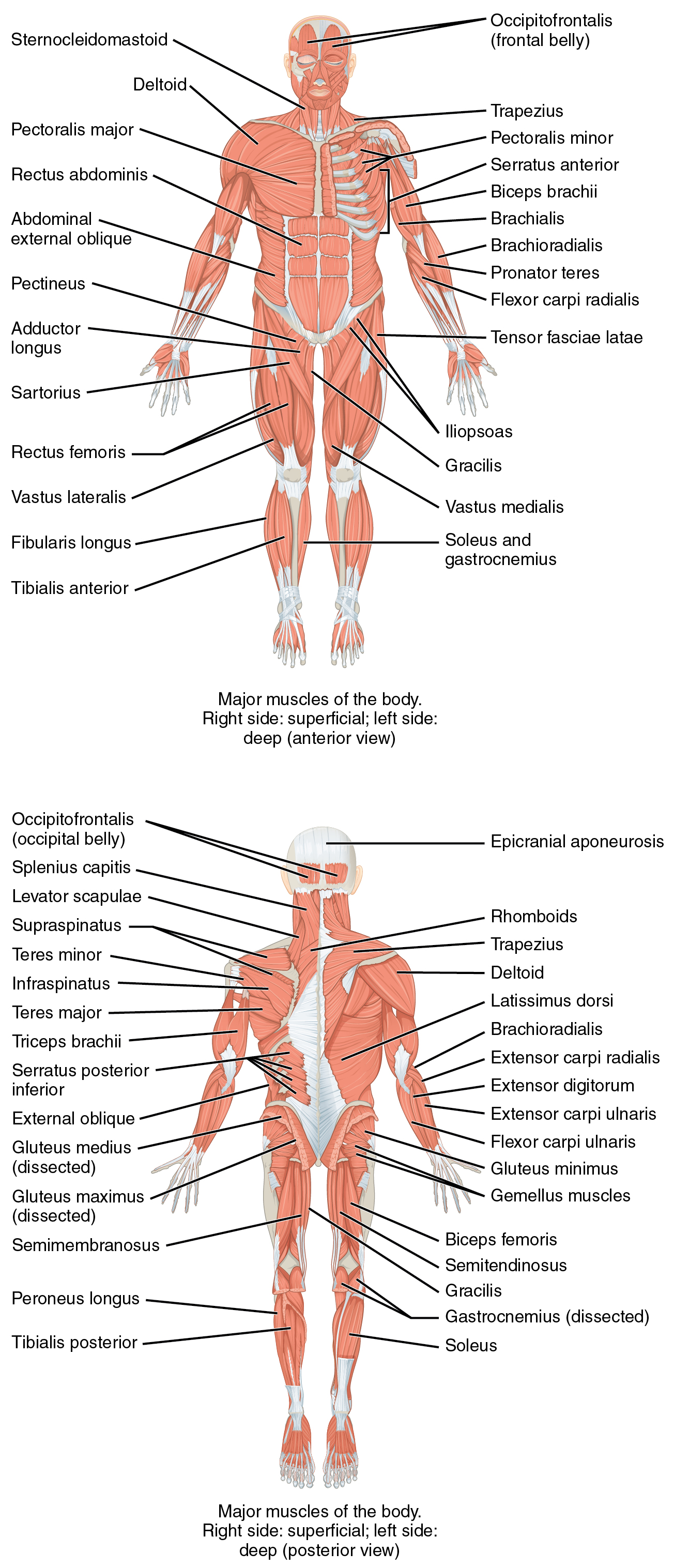 Muscular system. Image description available.