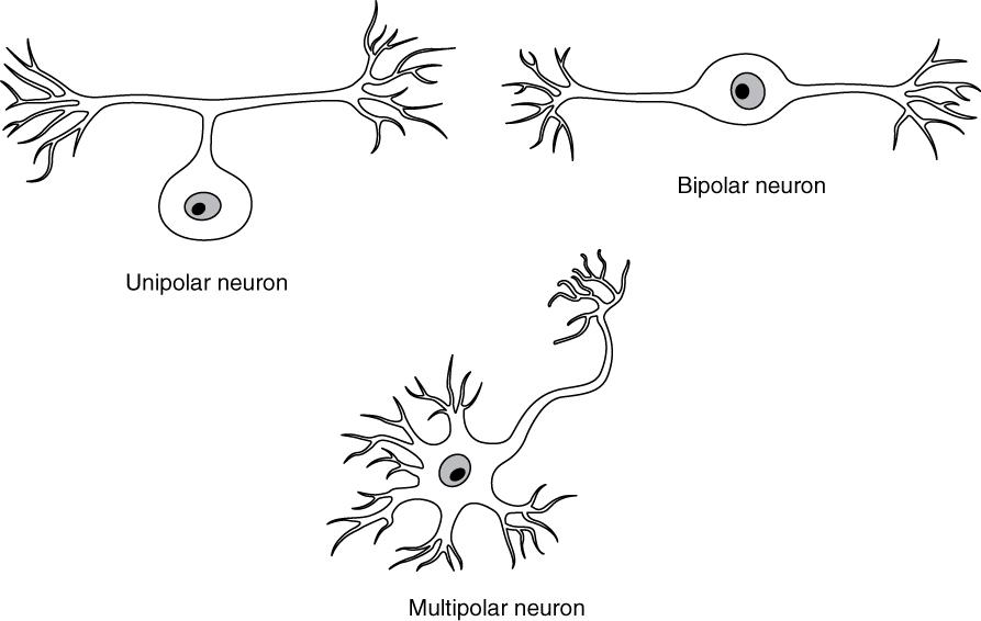Possible shapes of neurons. Image description available.