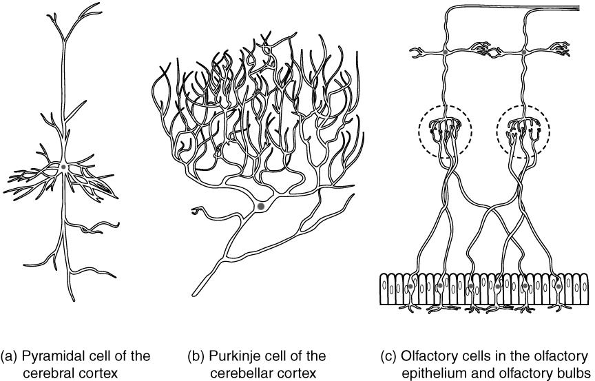 Other neuron classifications. Image description available.