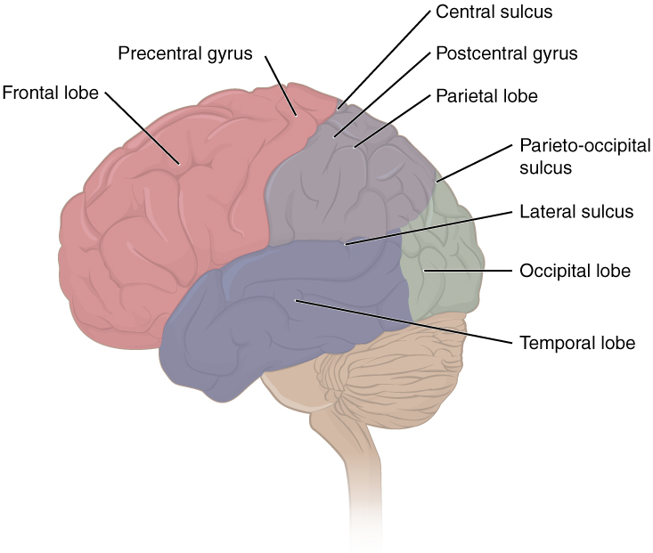 Lateral view of the cerebral cortex. Image description available.