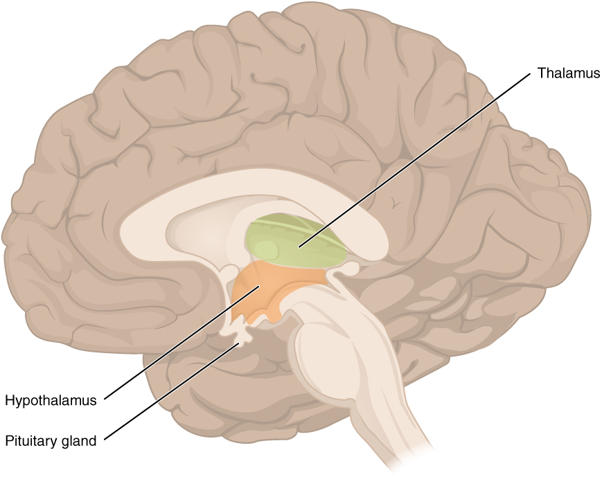 Location of the thalamus, hypothalamus, and pituitary gland in the brain. Image description available.