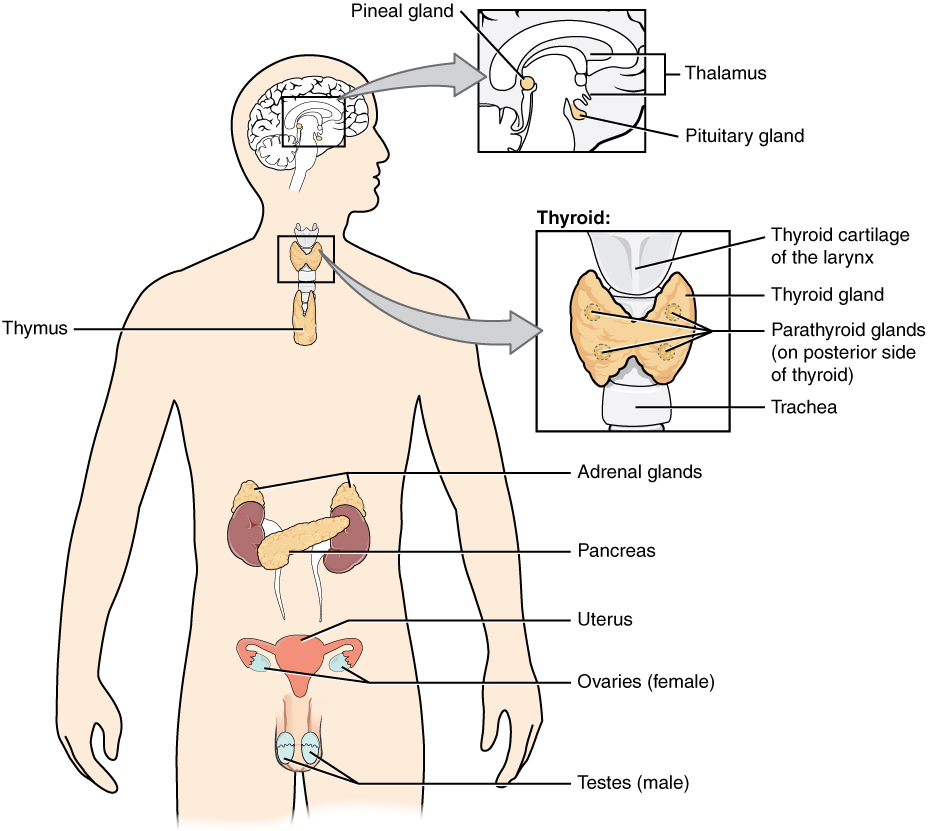 The endocrine system. Image description available.