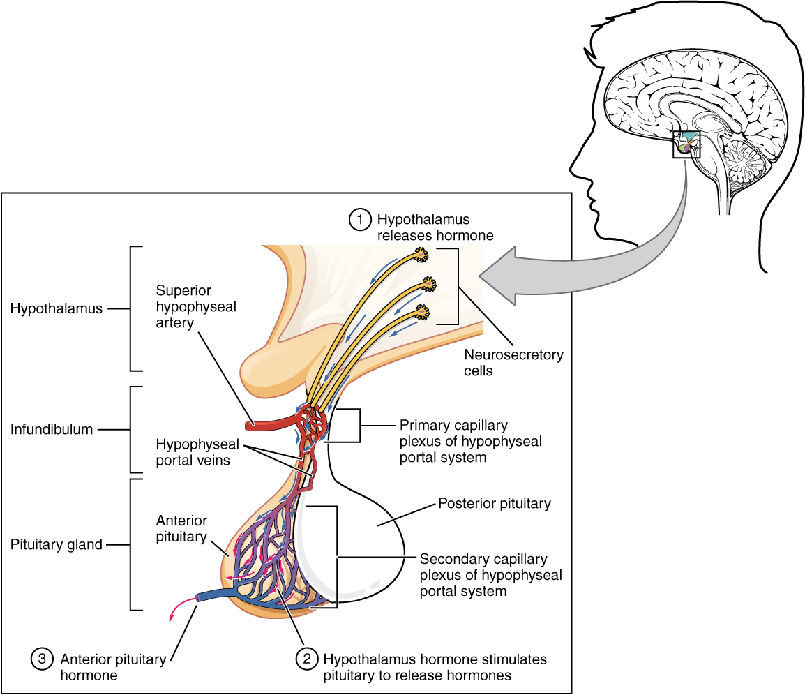 Hypothalamus and pituitary gland. Image description available.