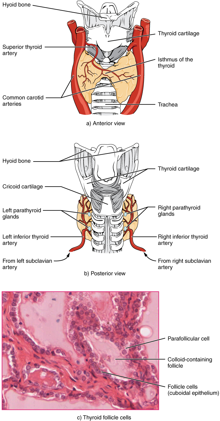 The thyroid gland. Image description available.