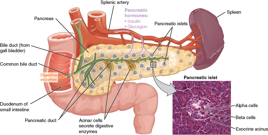 Anatomy of the pancreas. Image description available.