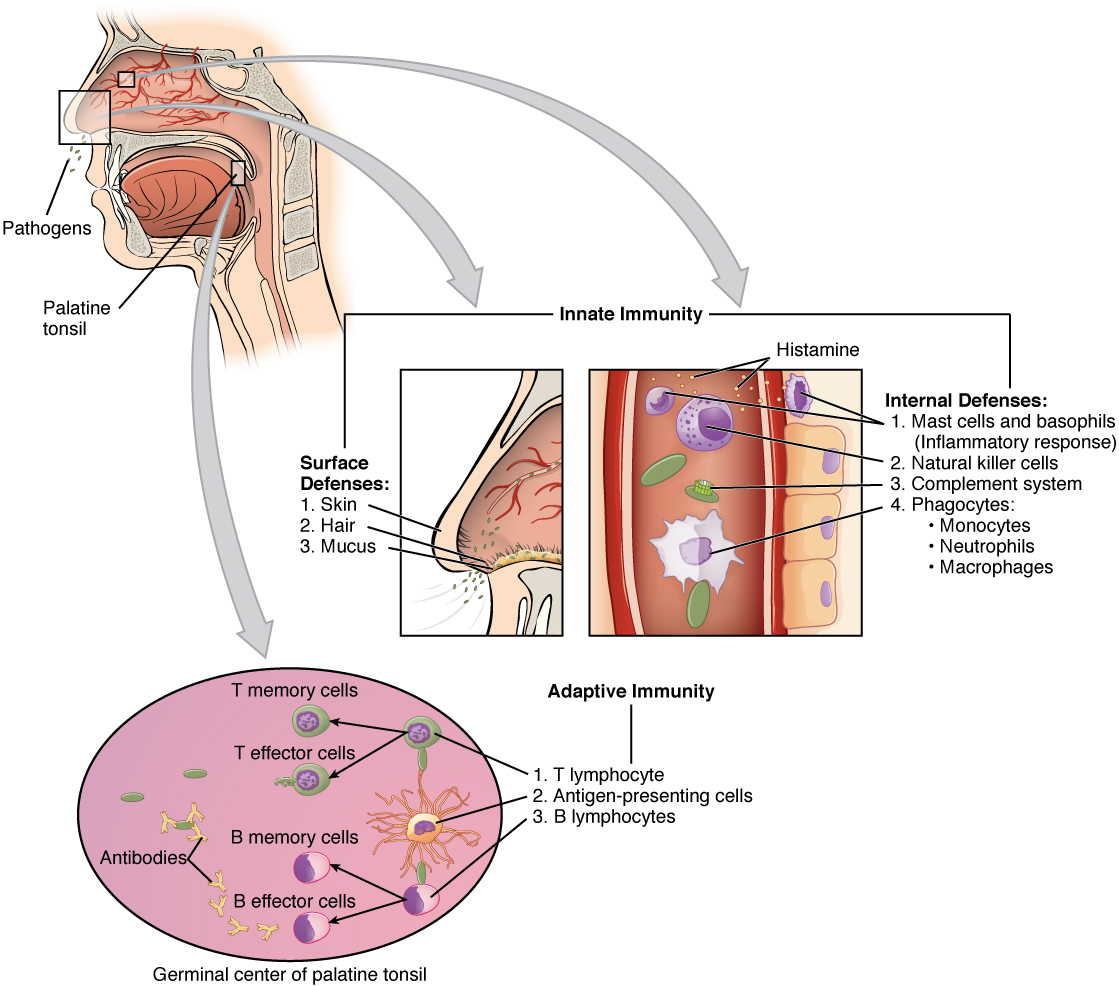 This figure shows a lateral view of a human face in the top left. A magnified callout shows the germinal center of the palatine tonsil. Another magnified view shows how the innate immune system works. This process is described in greater detail in the text below the figure.