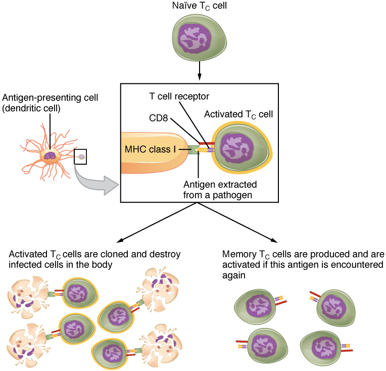 Nnaïve T cell become activated T cells or memory cells. Image description available.