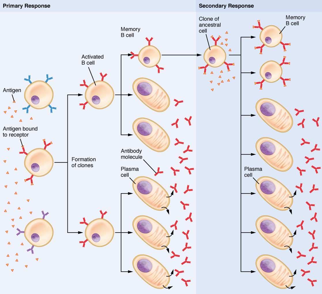 Primary and secondary response B cell immune responses. Image description available.