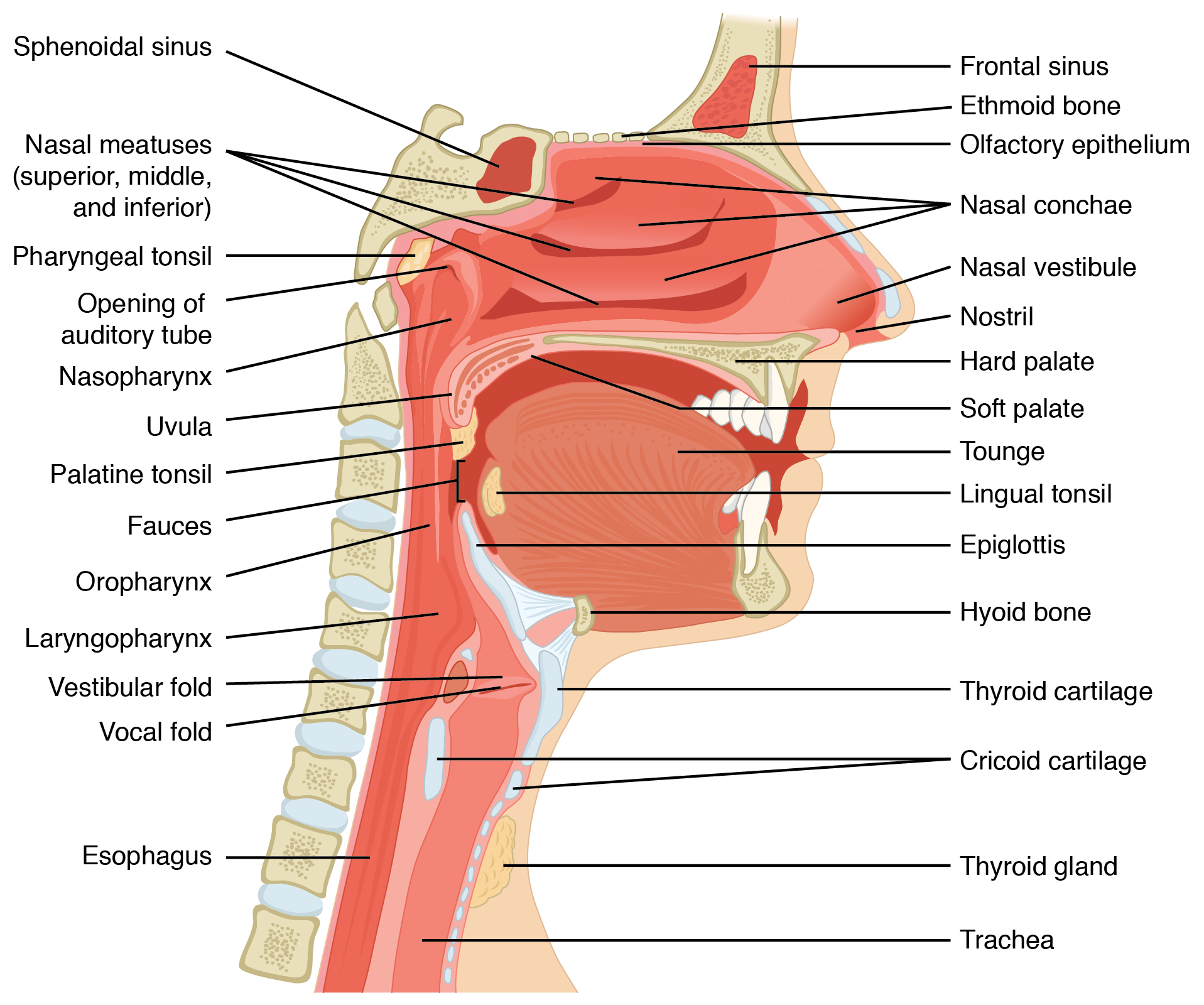Diagram of the upper airway. Image description available.