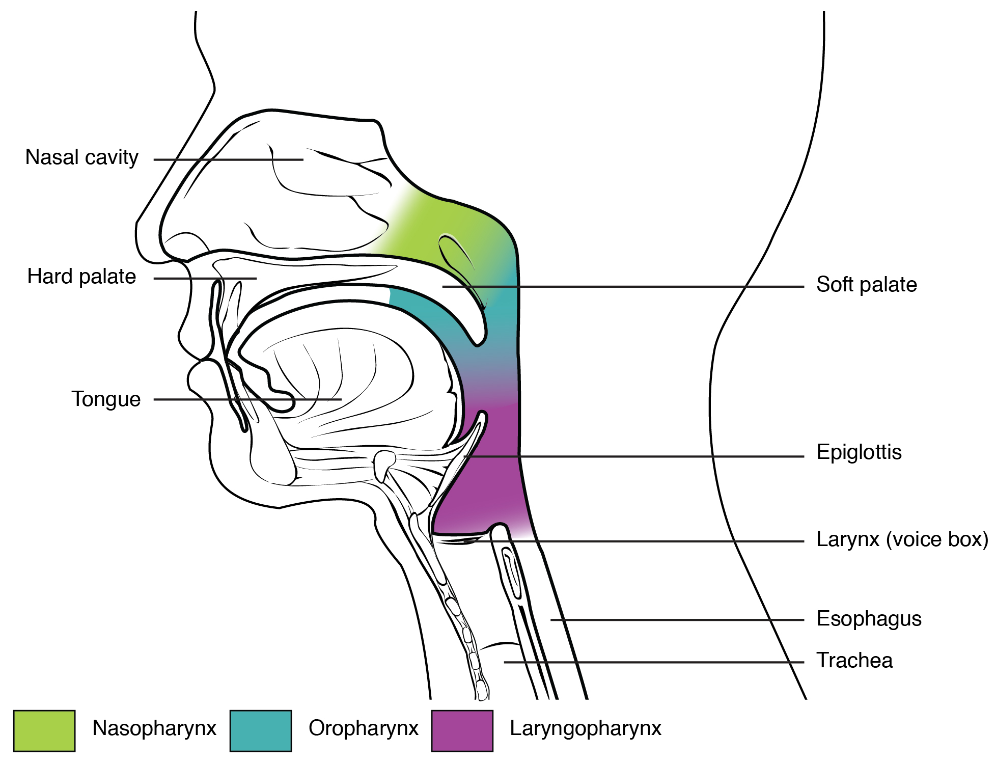 Divisions of the pharynx. Image description available.
