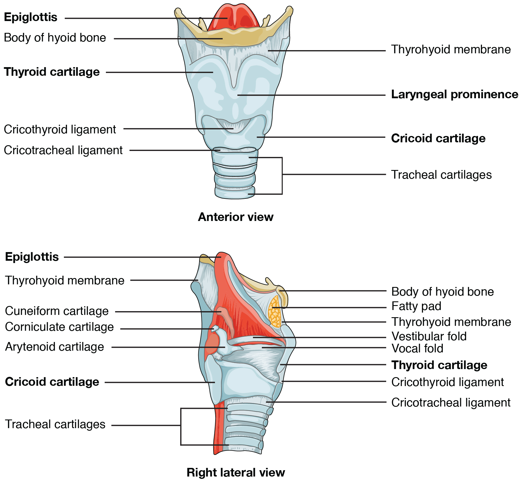 Anterior and right lateral view of the larynx. Image description available.