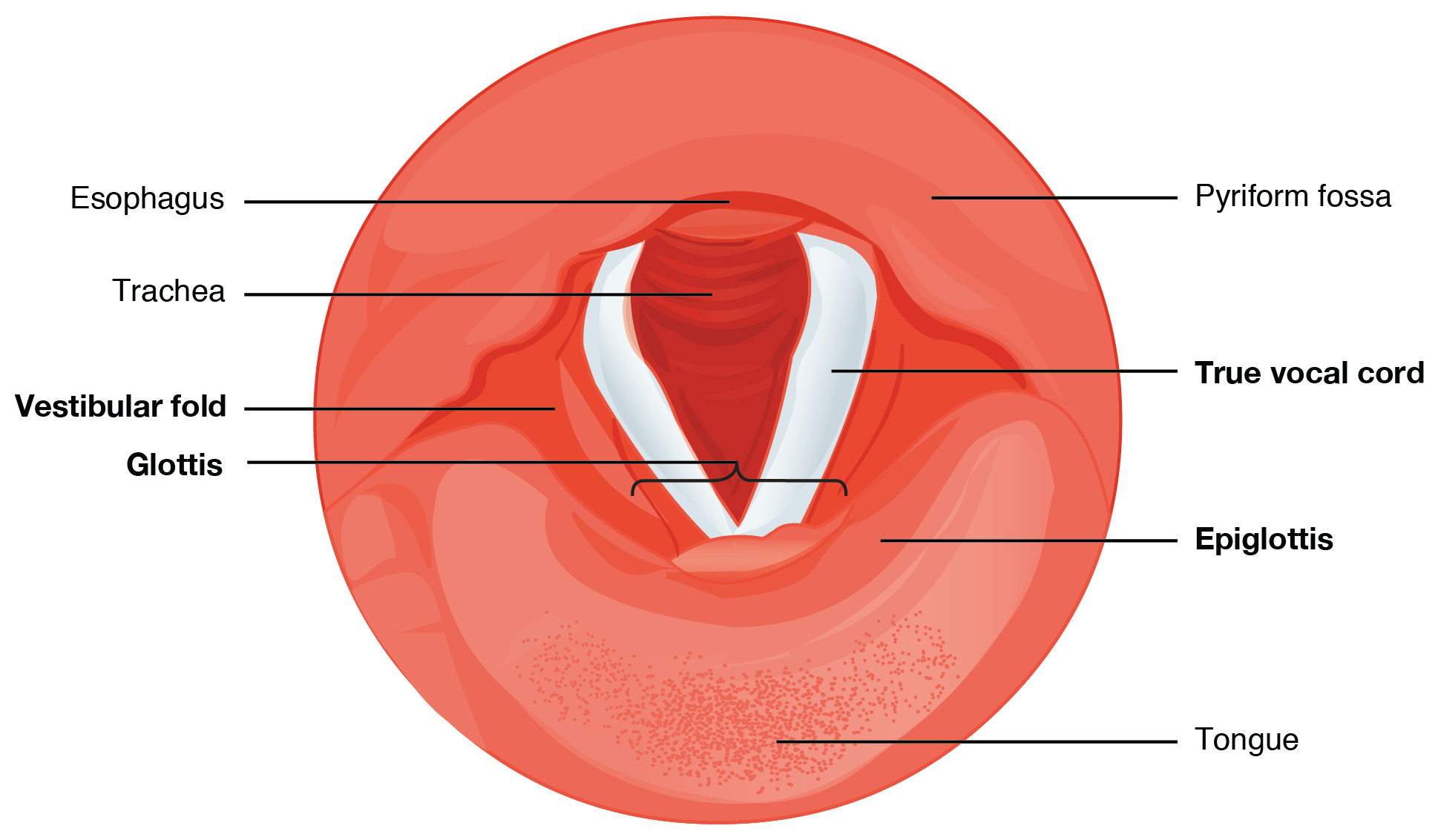 Cross-section of the vocal cords. Image description available.