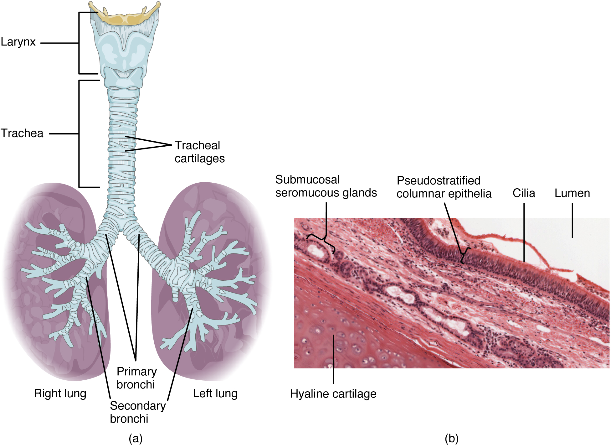 Trachea and lungs. Image description available.