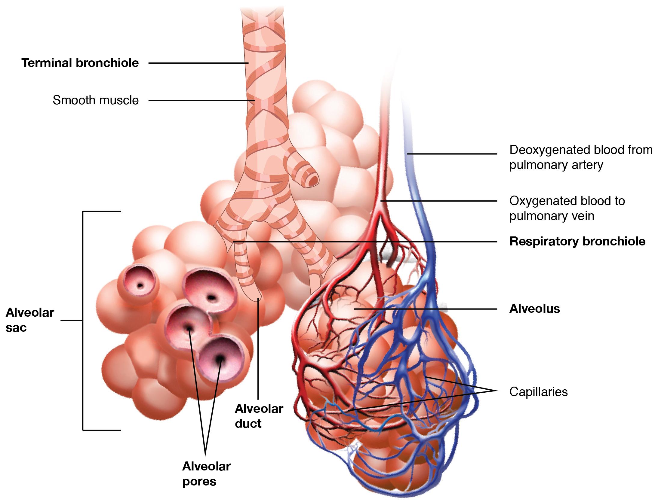 The respiratory zone. Image description available.