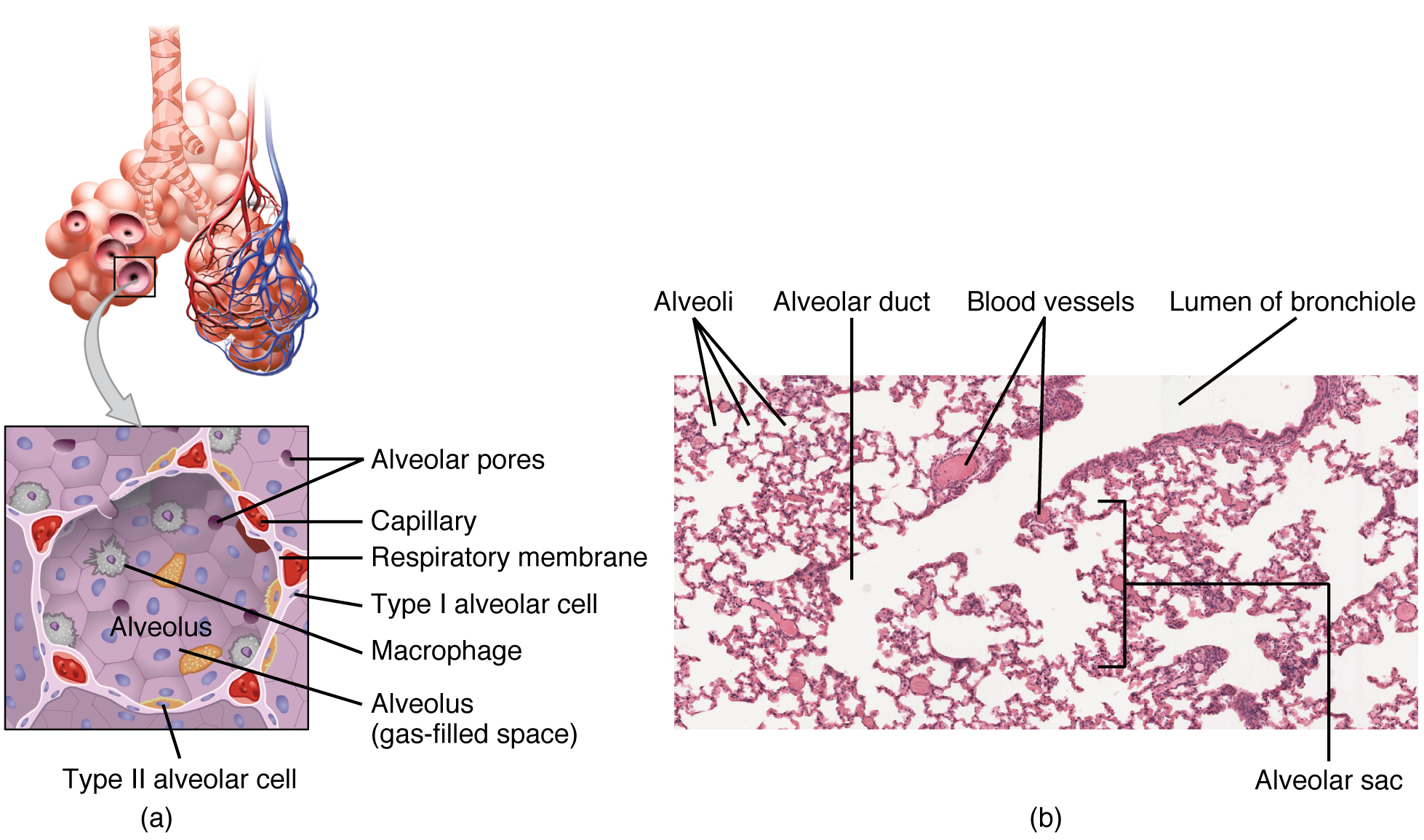 Structures of the respiratory zone. Image description available.