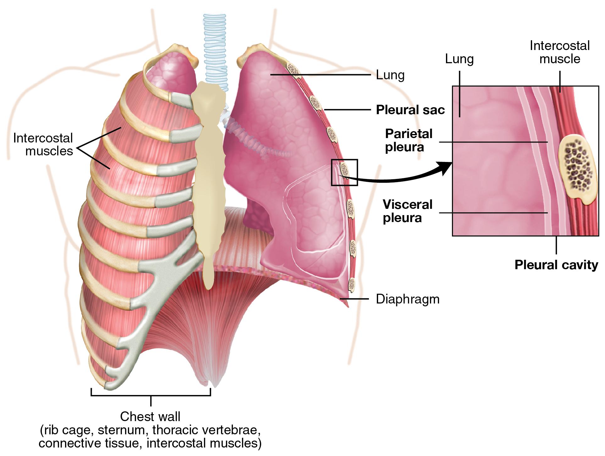 Parietal and visceral pleurae of the lungs. Image description available.