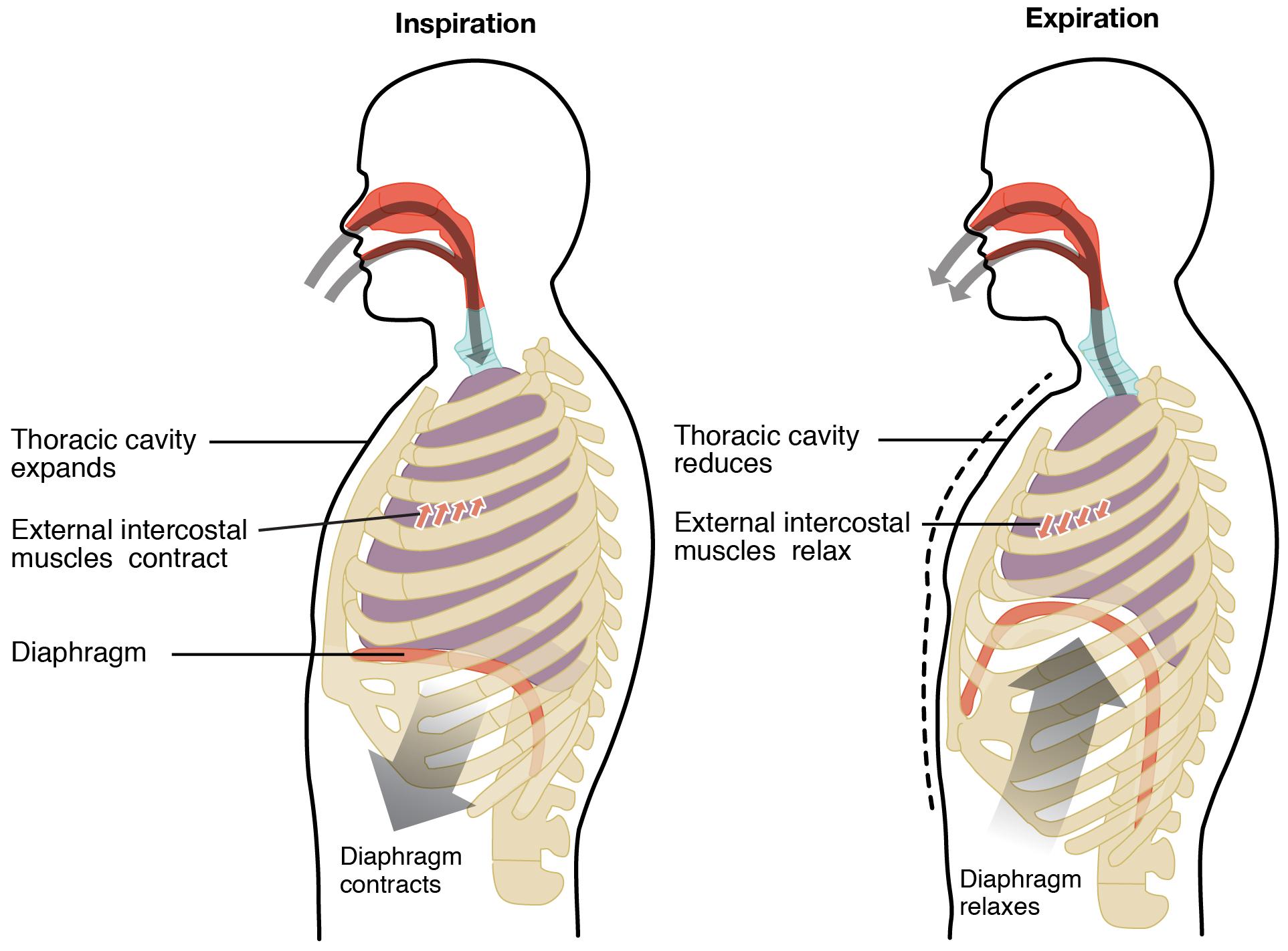 Inspiration and expiration process diagram. Image description available.