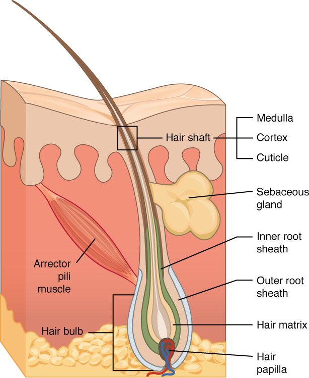 Cross section of a hair follicle. Image description available.