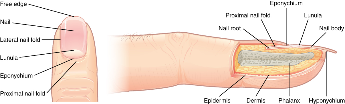 Anatomy of the fingernail. Image description available.