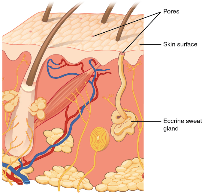 Eccrine sweat gland. Image description available.