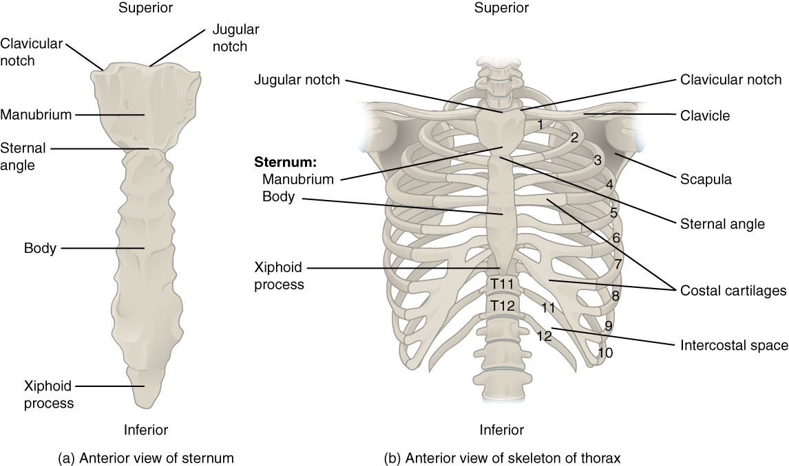 Anterior views of sternum and skeleton of thorax. Image description available.