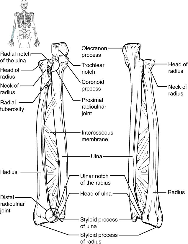Bones of the lower arm. Image description available.