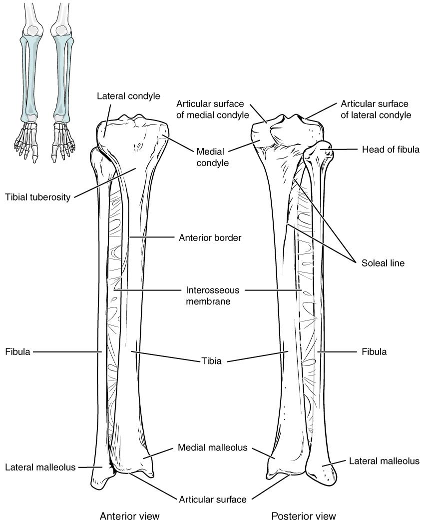 Bones of the lower legs. Image description available.