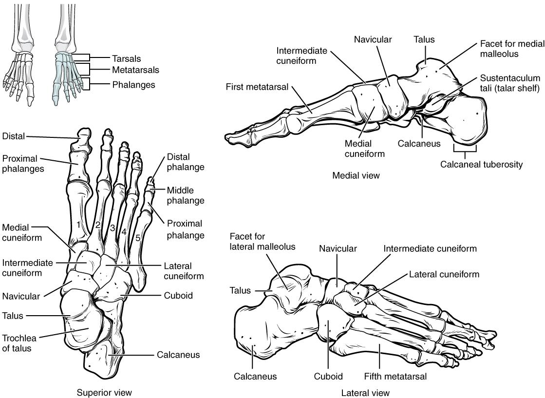 Skeletal System Building A Medical Terminology Foundation