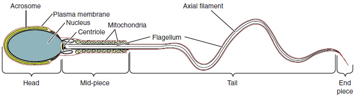 Structure of the sperm cell. Image description available.